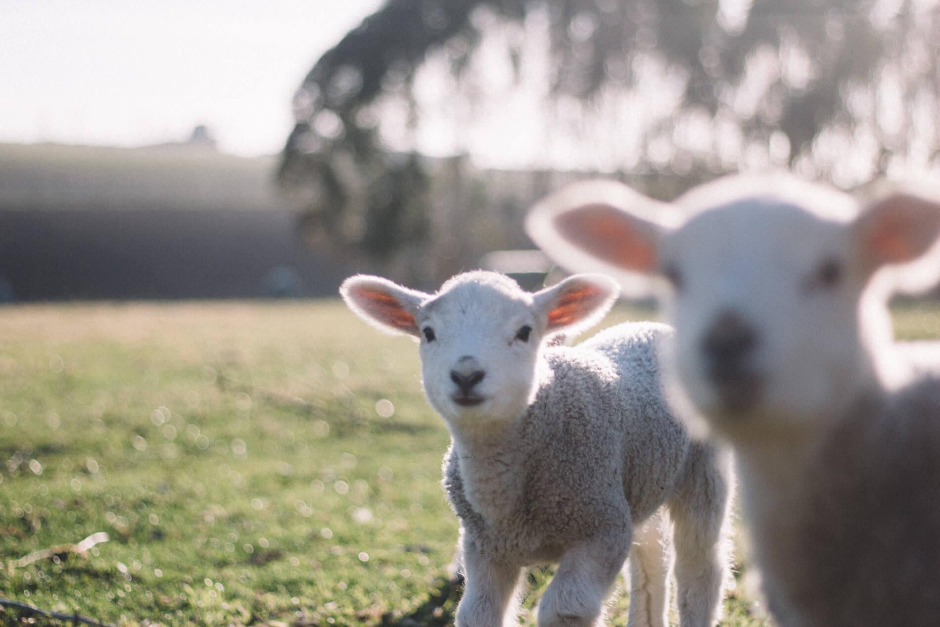 Owce-zakopane